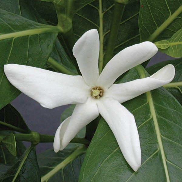 Tahitian Gardenia Gardenia Taitensis This Rare Gardenia Has