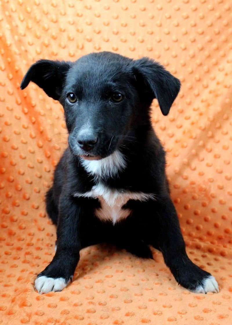 Adopt Asmara On Australian Shepherd Puppy Mix Working Dogs