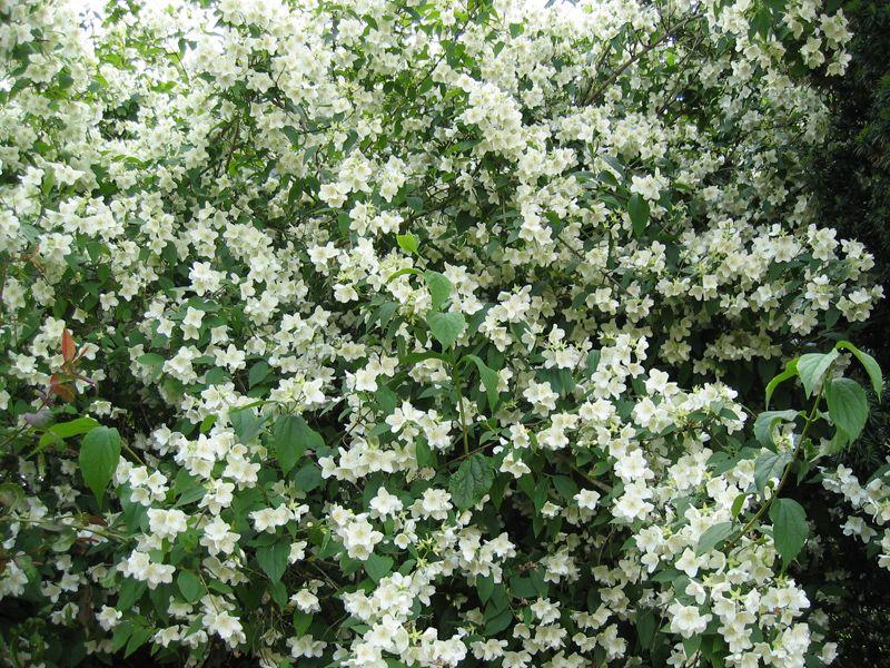 seringat jasmin des po tes philadelphus mes plantes et leurs soins garden white gardens. Black Bedroom Furniture Sets. Home Design Ideas