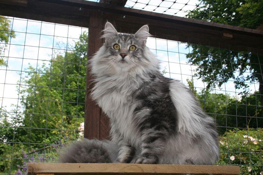 Breeders Norwegian forest cat