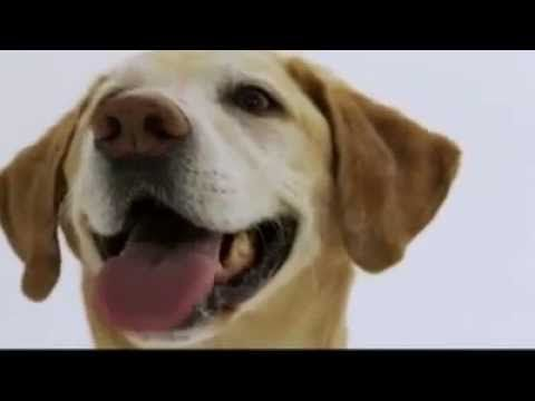 Dogs 101 Labrador Retriever Labrador Retriever Labrador Retriever Puppies Labrador Dog