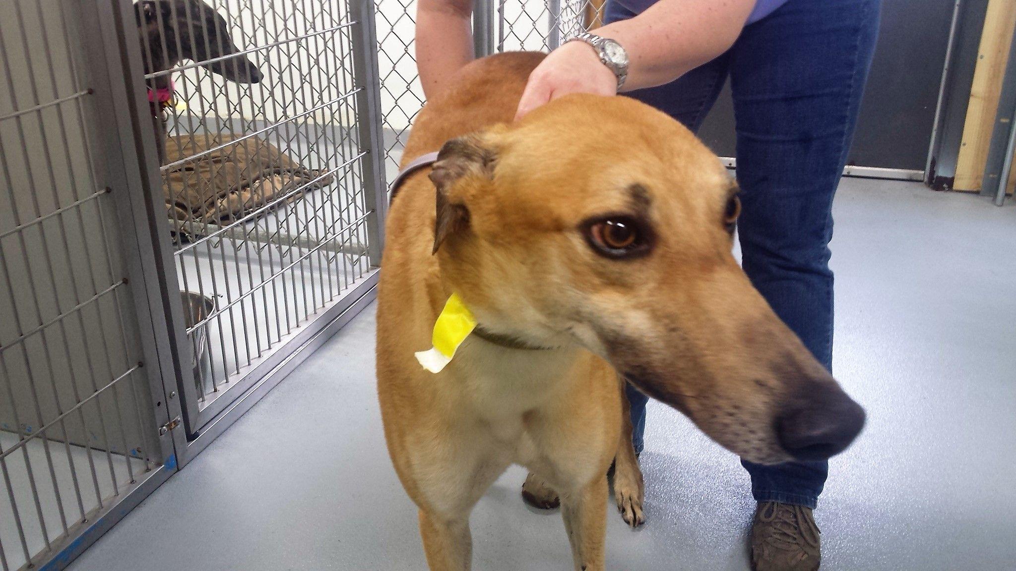 Greyhound dog for Adoption in Kansas City, MO. ADN541295