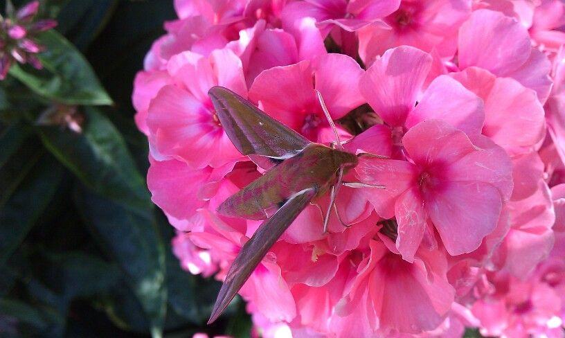 Hummingbird Hawk moth in my garden