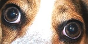 Common Eye Problems Seen In Dogs Are Conjunctivitis Or Pink Eye
