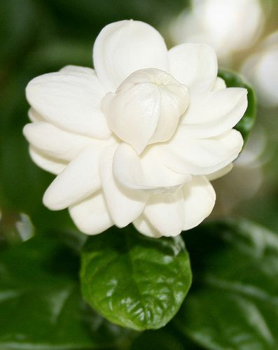 My favorite flowers philippine sampaguita philippines my favorite flowers philippine sampaguita mightylinksfo