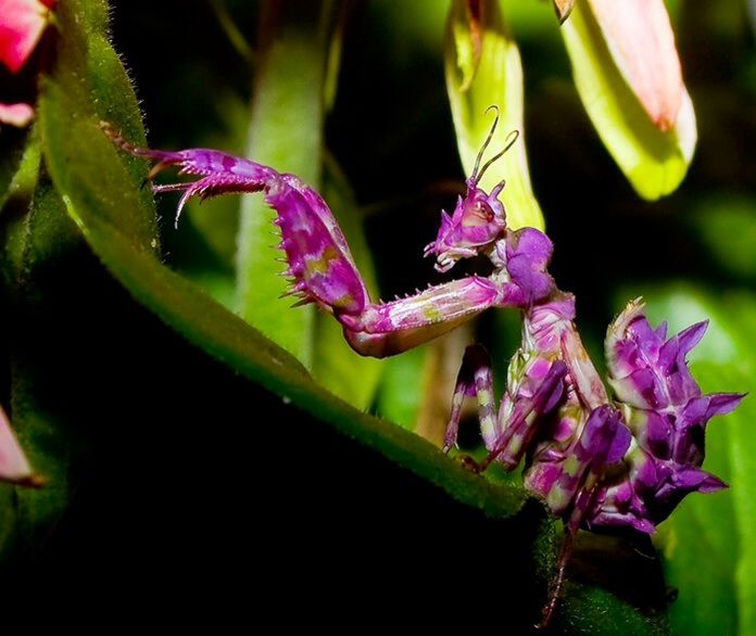 Purple Orchid Mantis Orchid Mantis National Geographic