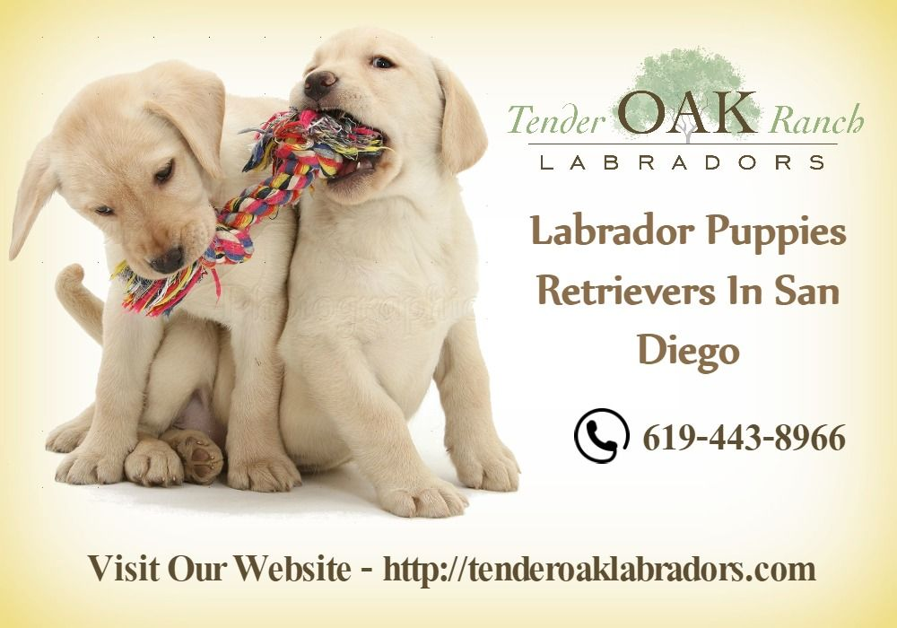 Labrador Puppies Retrievers In San Diego Labrador Puppies For