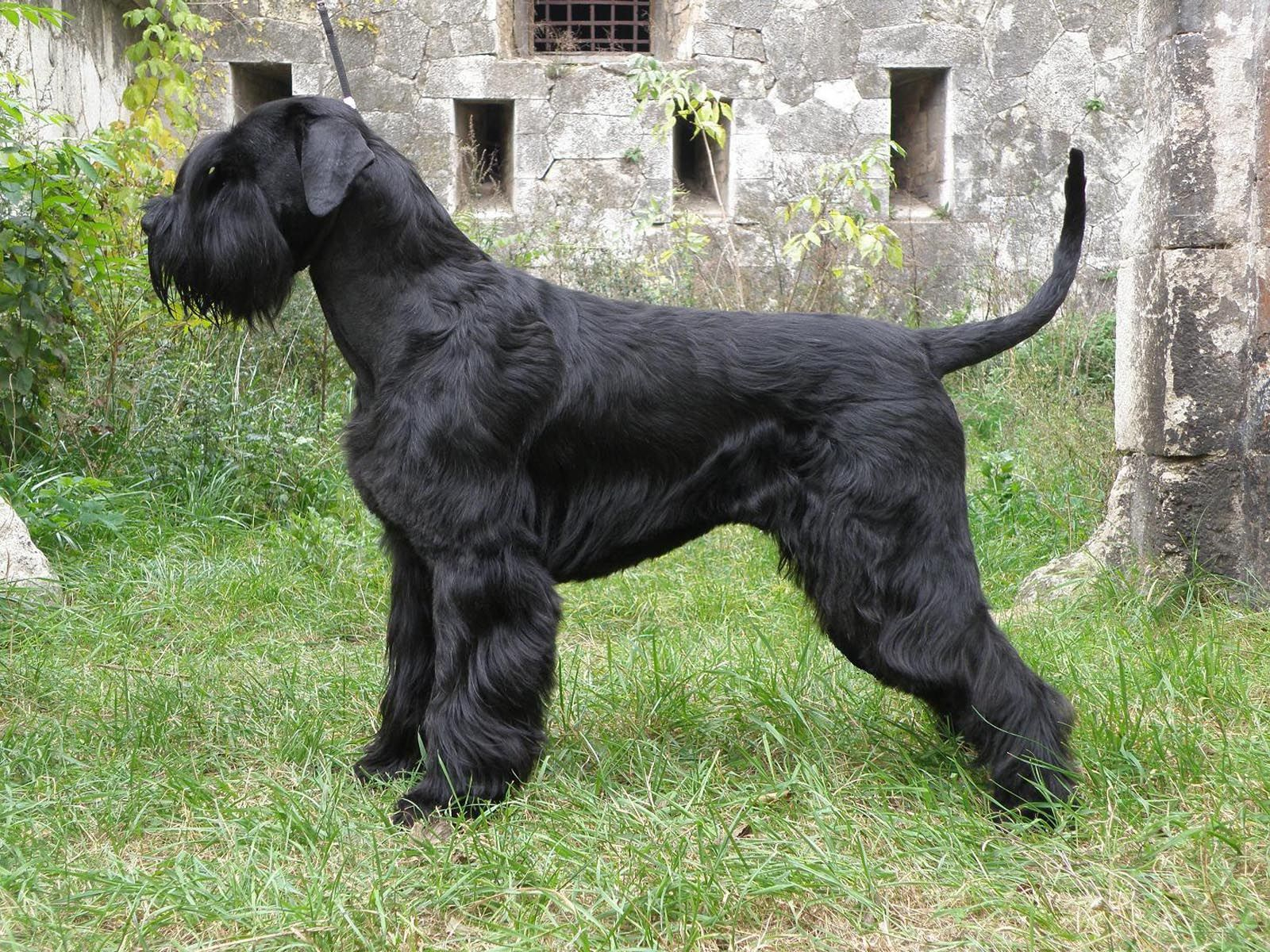 Giant Schnauzer Giant Schnauzer dog side view wallpaper