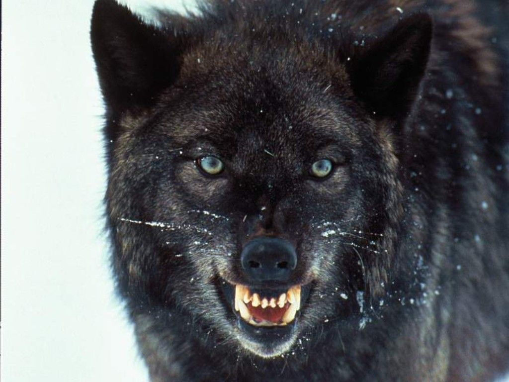 63 best wolves images on pinterest animals wild animals and