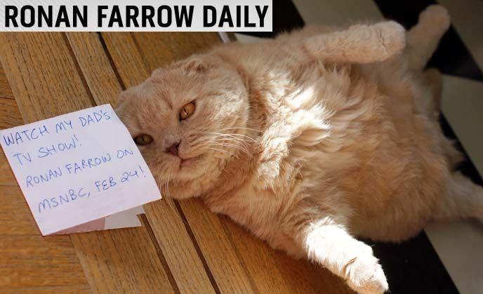 Ronan Farrow S Cat New Msnbc Tv Show Tokyo Fashion Photographer Snaps Scottish Fold Kittens Cat Scottish Fold Munchkin Cat