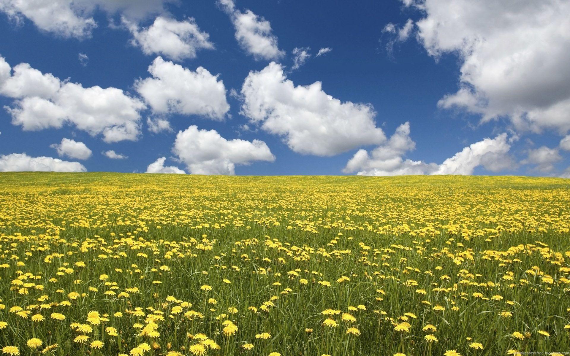 Yellow Fields Field Wallpaper Flower Field Landscape