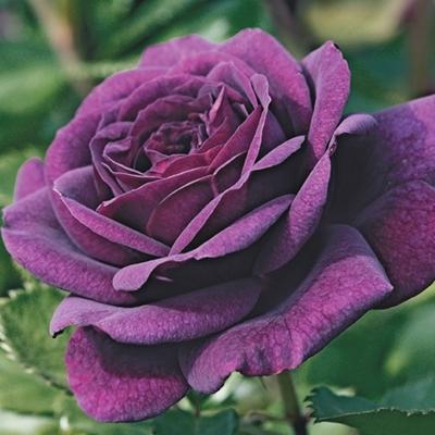 Ebb Tide Rose Rose seeds, Hybrid tea roses, Rose bush seeds