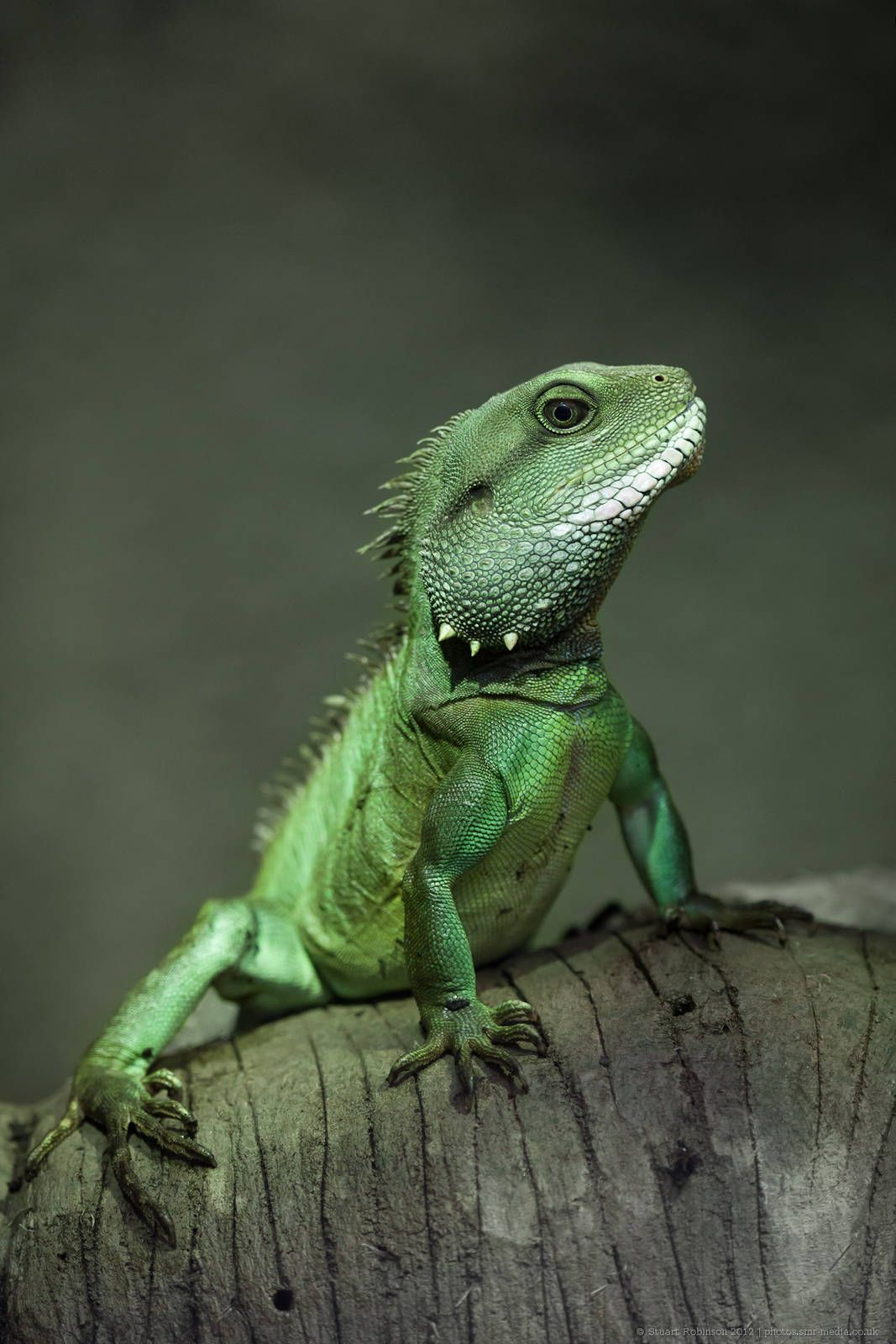 Chinese Water Dragon. i think this will be the next lizard