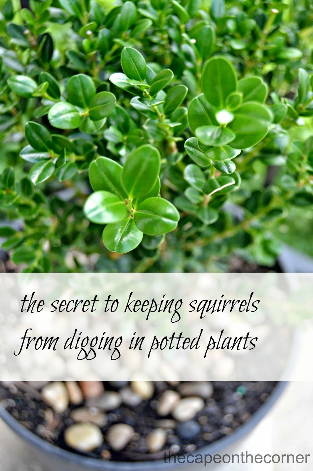 How to keep squirrels from digging in your potted plants - How to keep squirrels from digging in garden ...