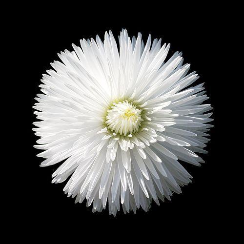 White flower on black pinterest black backgrounds flower and mum white flower on black background mightylinksfo