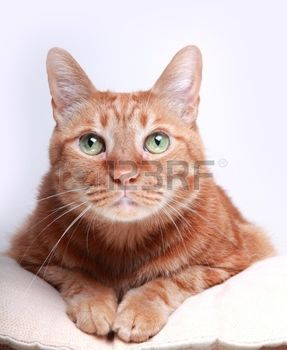 rote katze: Cat