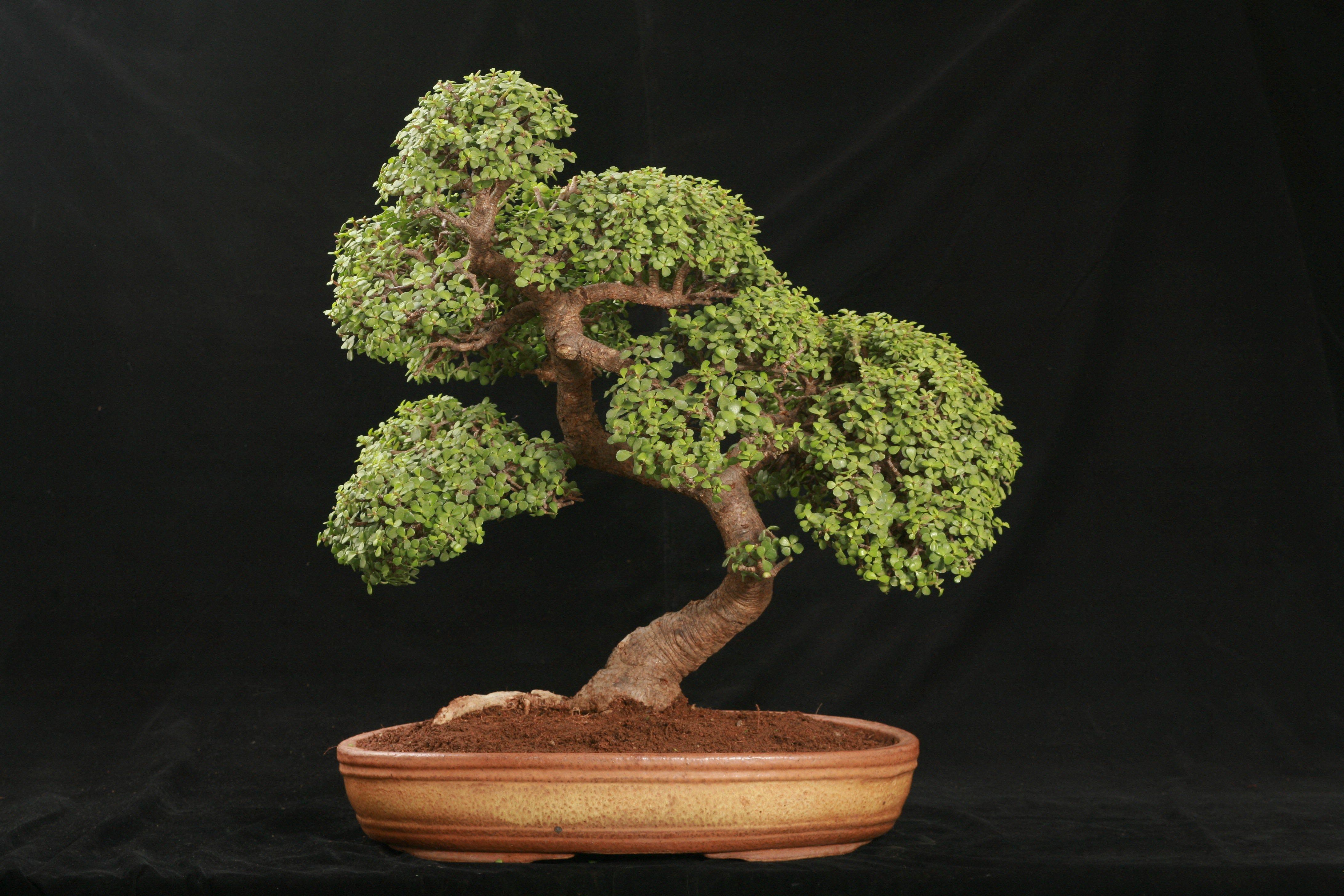 Jade Bonsai Tree Care Guide Crassula Ovata Bonsai Tree Gardener Jade Bonsai Bonsai Tree Bonsai Tree Care