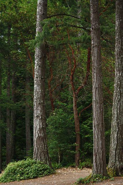 Pin Douglas (Pseudotsuga menziesii) : plantation, culture, entretien ...