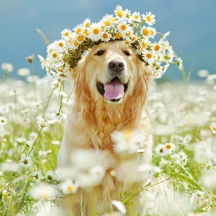Golden Retriever Names Unique Male Female Ideas Cute Puppies