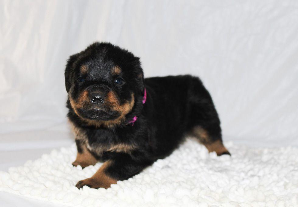 Chloe A Female AKC Rottweiler Puppy for Sale in Grabill