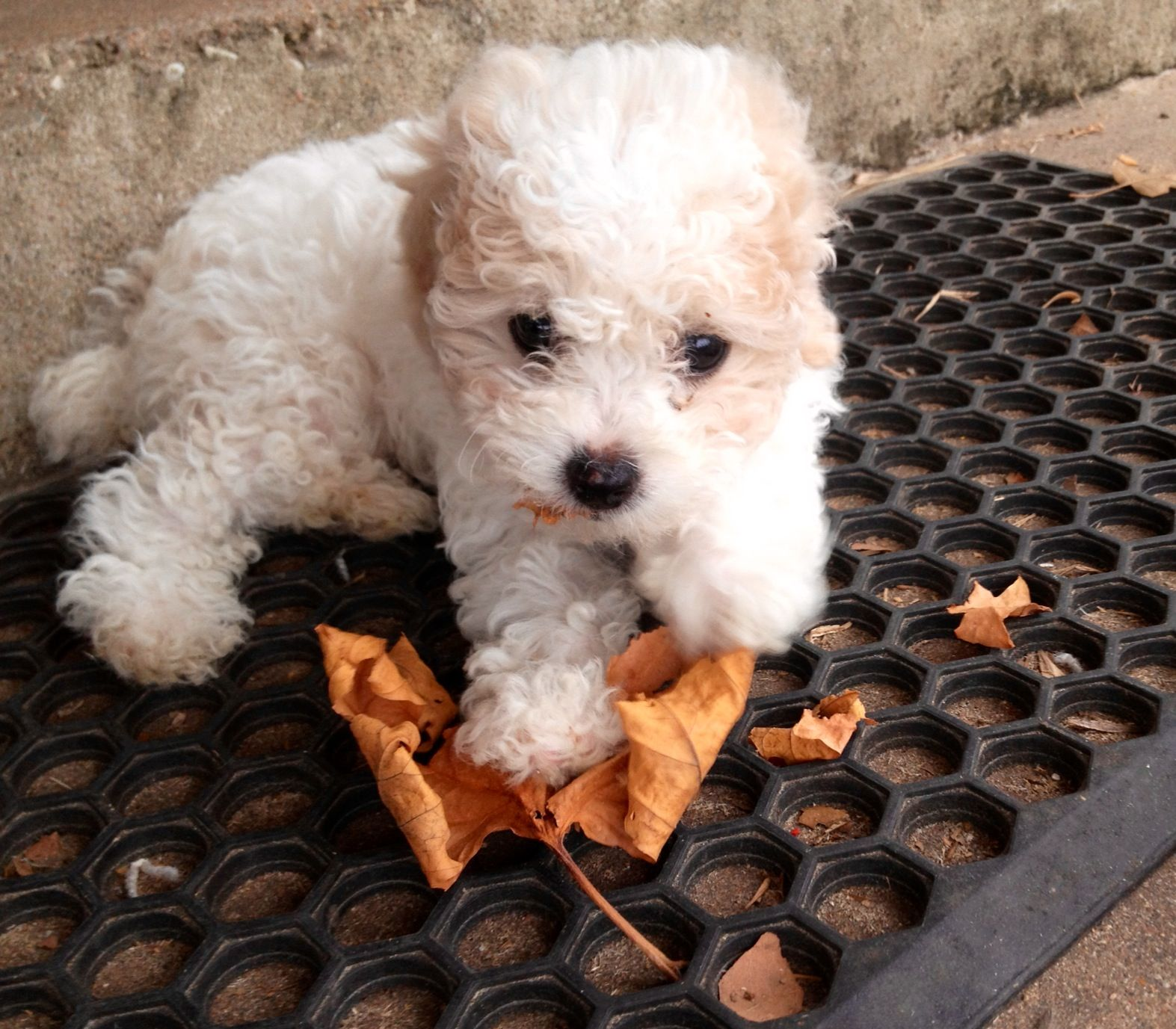 Sophie 8 Weeks Teacup Poodle White W Apricot Ears 3lbs