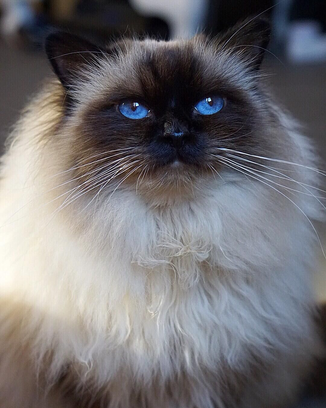 I M Skinny Under All This Fluff I Promi Pretty Cats Beautiful Cats Pictures Cat Lifespan