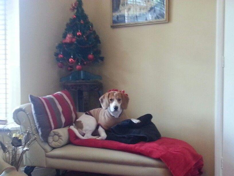 Poppy at Christmas - not impressed