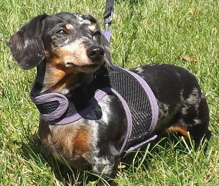 Adopt Little Bit on (With images) Dachshund puppy