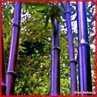 Riesen Lila Bambus Samen 30 Stück  Bambus Sichtschutz für Garten und Balkon Garten & Terrasse #bambussichtschutz Riesen Lila Bambus Samen 30 Stück  Bambus Sichtschutz für Garten und Balkon Garten & Terrasse #bambussichtschutz Riesen Lila Bambus Samen 30 Stück  Bambus Sichtschutz für Garten und Balkon Garten & Terrasse #bambussichtschutz Riesen Lila Bambus Samen 30 Stück  Bambus Sichtschutz für Garten und Balkon Garten & Terrasse #bambussichtschutz Riesen Lila Bambus Samen 30 Stück  Bamb #bambussichtschutz