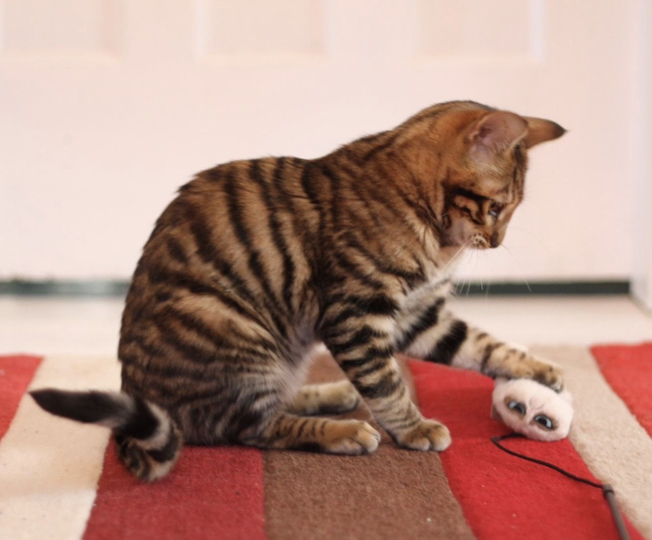 Toyger from queenanne Toyger cat, Cat breeder, Bengal
