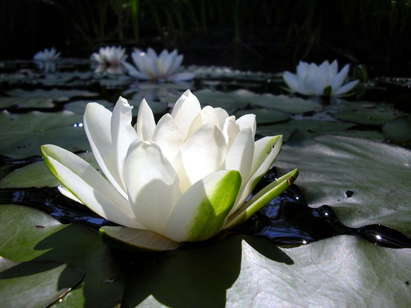 Wallpaper steine blumen  excellent lotus flower wallpaper | ololoshenka | Pinterest