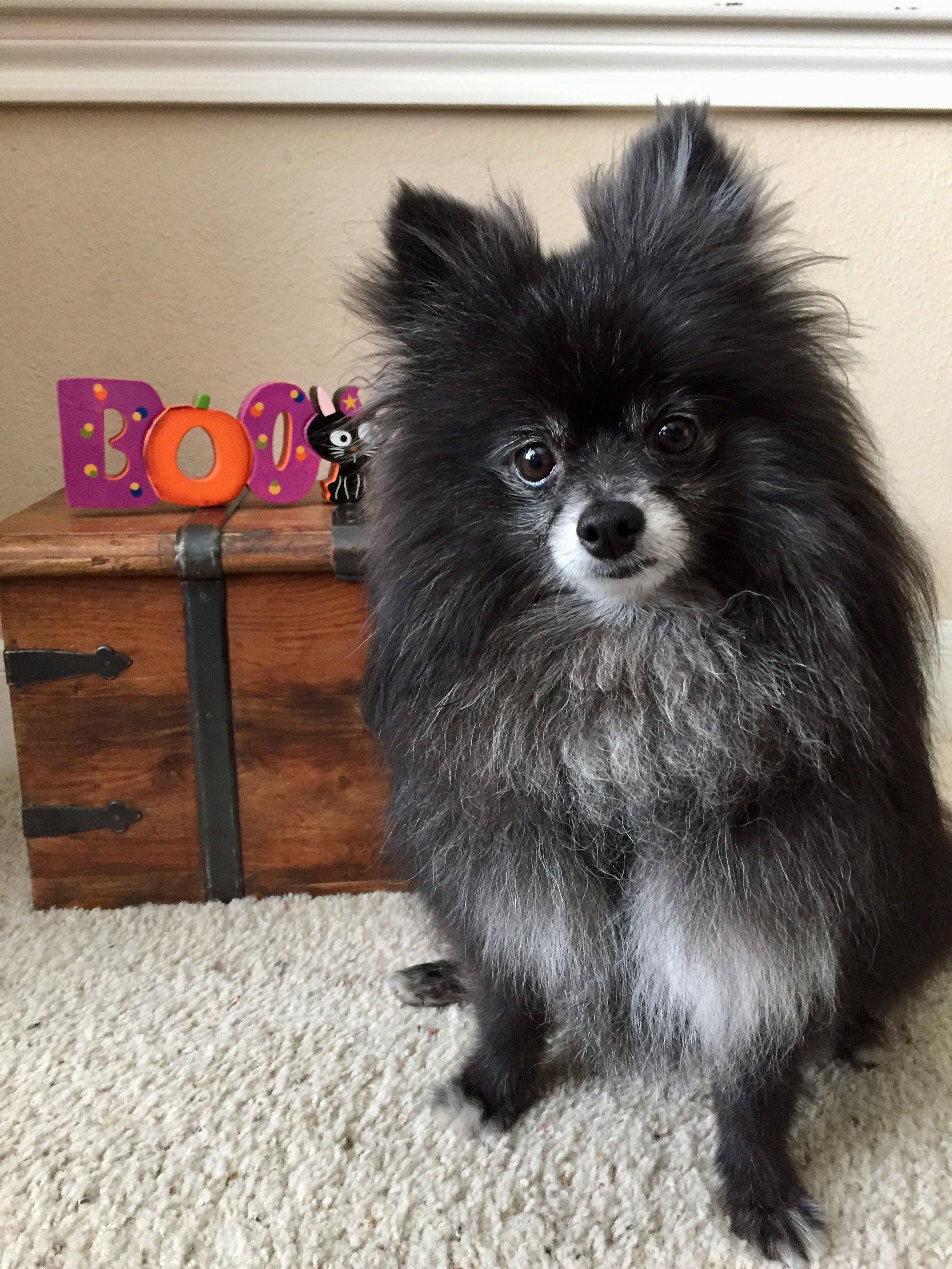 Old Black Pomeranian Dogs Your Dog I Love Dogs