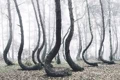 http://www.mymodernmet.com/profiles/blogs/crooked-forest-poland  Crooked polish trees