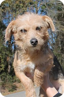 Prattville Al Chihuahua Poodle Miniature Mix Meet Carly