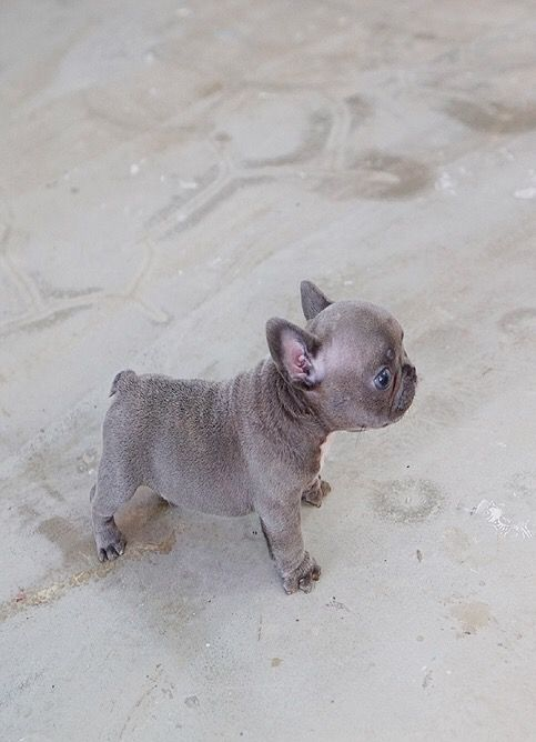 77 Teacup Grey French Bulldog Puppy In 2020 French Bulldog Puppy Grey French Bulldog Bulldog Puppies