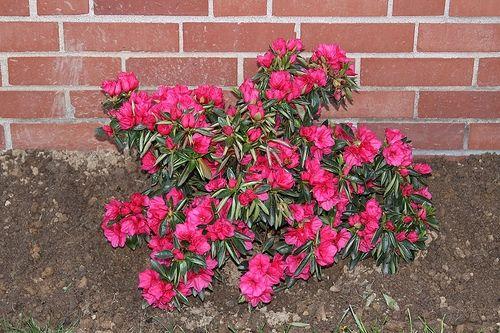 How To Care For Azalea Bushes Hunker Azaleas Landscaping Azalea Bush Azaleas Care