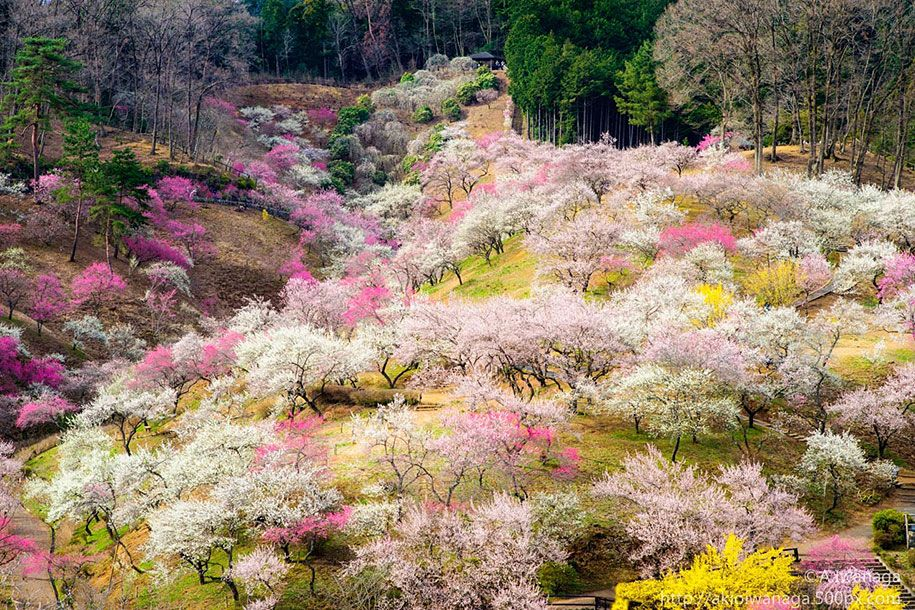 From The Tumblr Good Stuff Happened Today Cherry Blossoms In
