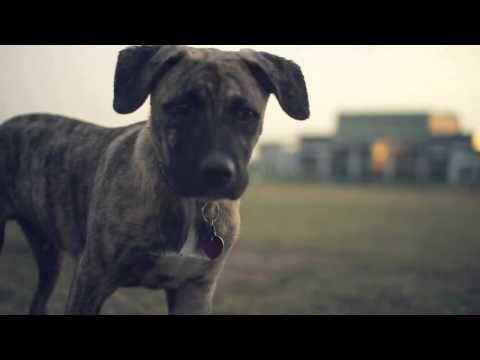 Brindle Boxer Blue Heeler Mix Explores The Park The Daily Puppy Brindle Boxer Pitbull Boxer Blue Heeler Dogs