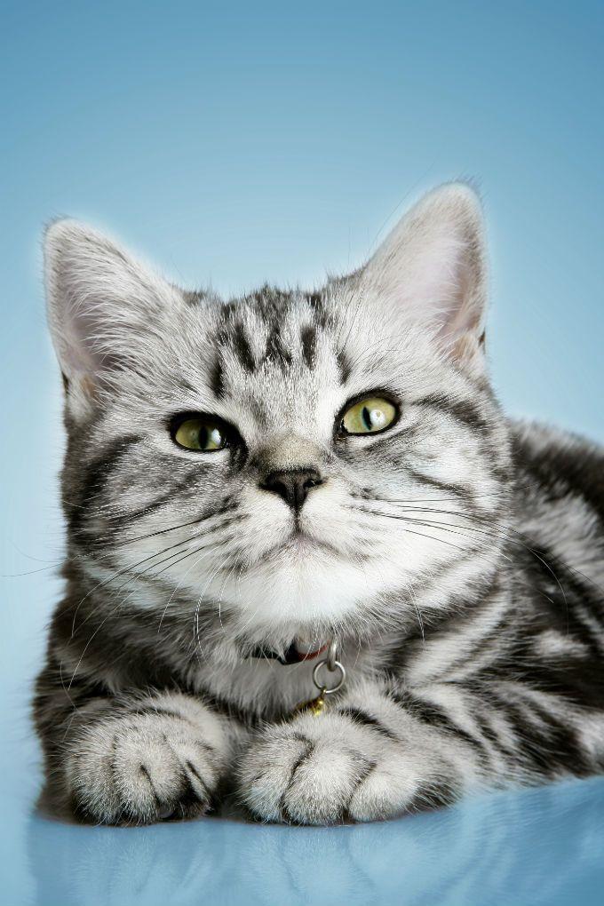 British Shorthair Cats And Kittens British shorthair