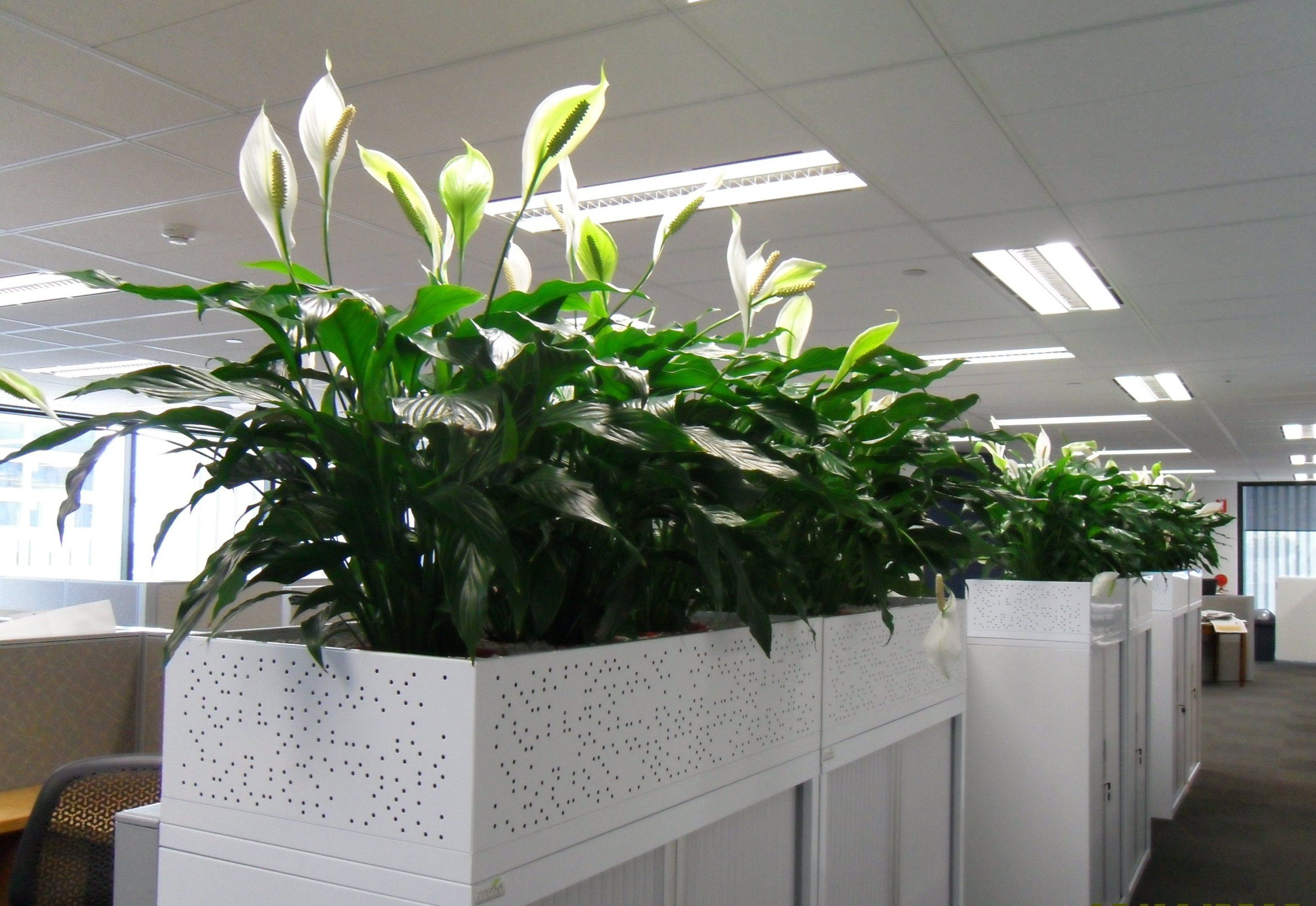 Plant Interior Keeping Plants In The Office Can Help Clean The Air And