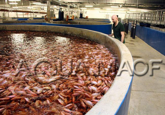 Fish industrial ras design engineering aquaculture tilapia for Indoor fish farming