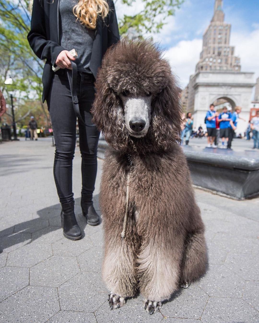 Cash Standard Poodle 8 M O Washington Square Park New York Ny