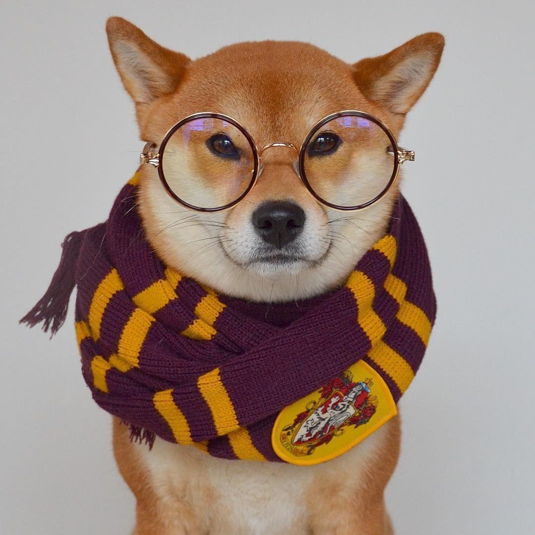 Repost Of Meiko Shiba Furry Potter Welcome To Dogwarts Thedailyshibainu 柴犬 日本犬 柴犬マニア Shiba Shibainu Photooftheday Cute Animals Animals Shiba Inu