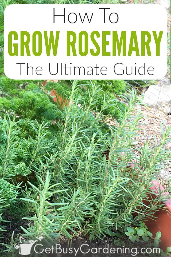 How To Grow Rosemary The Ultimate Guide Rosemary Plant Care Growing Rosemary Rosemary Plant