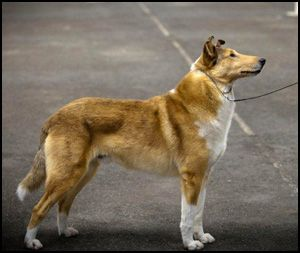 Smooth Collie Breeders Smooth Collie Collie