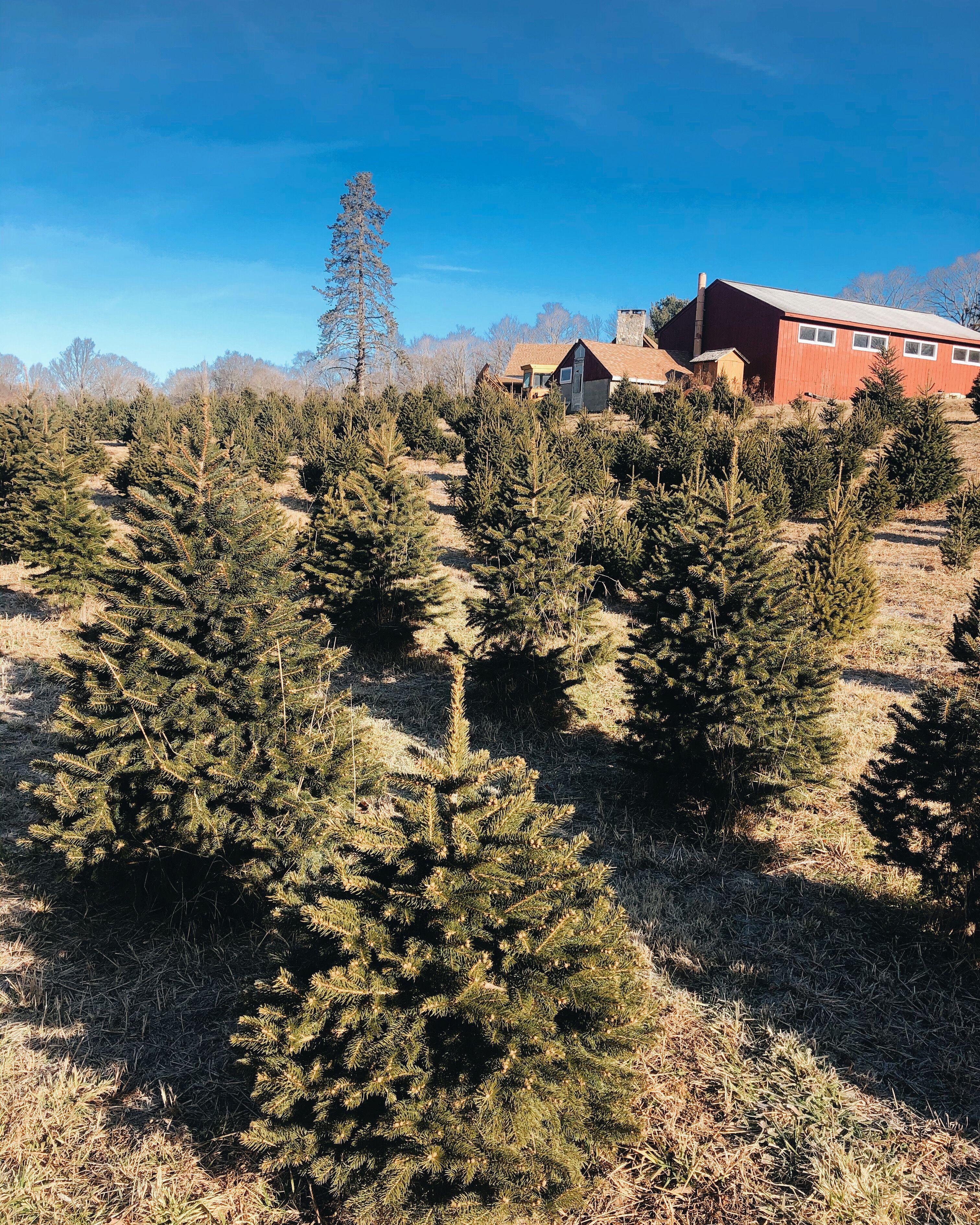 O Christmas Tree O Christmas Tree Kapturedbykelc Tree Farms Christmas Tree Tree