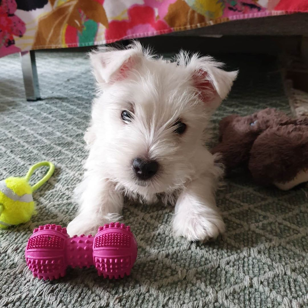 Vart Lilla Hjarta Mkjensen11 Westie Westhighlandwhiteterrier Puppy In 2020 Otters Cute West Highland White Terrier West Highland Terrier