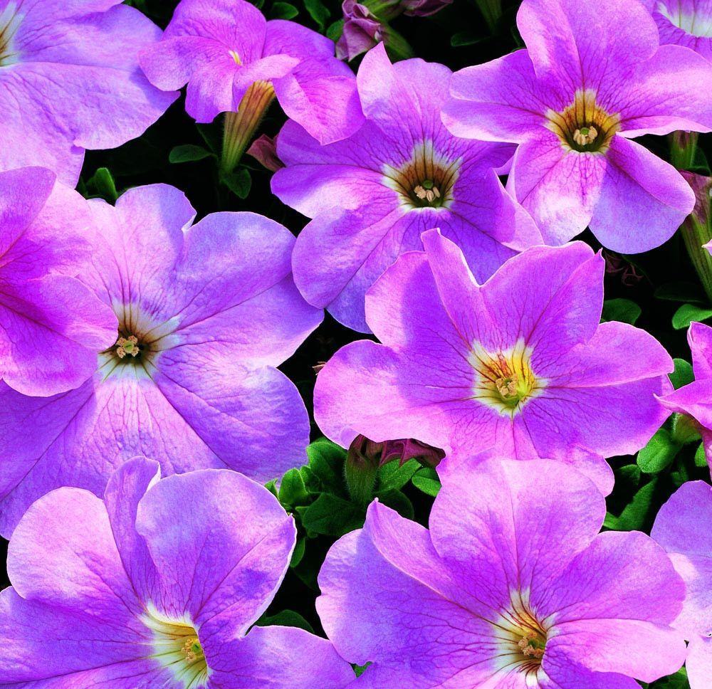 Cheap flower seeds bulk petunia candypops blush pink bulk flower cheap flower seeds bulk petunia candypops blush pink izmirmasajfo