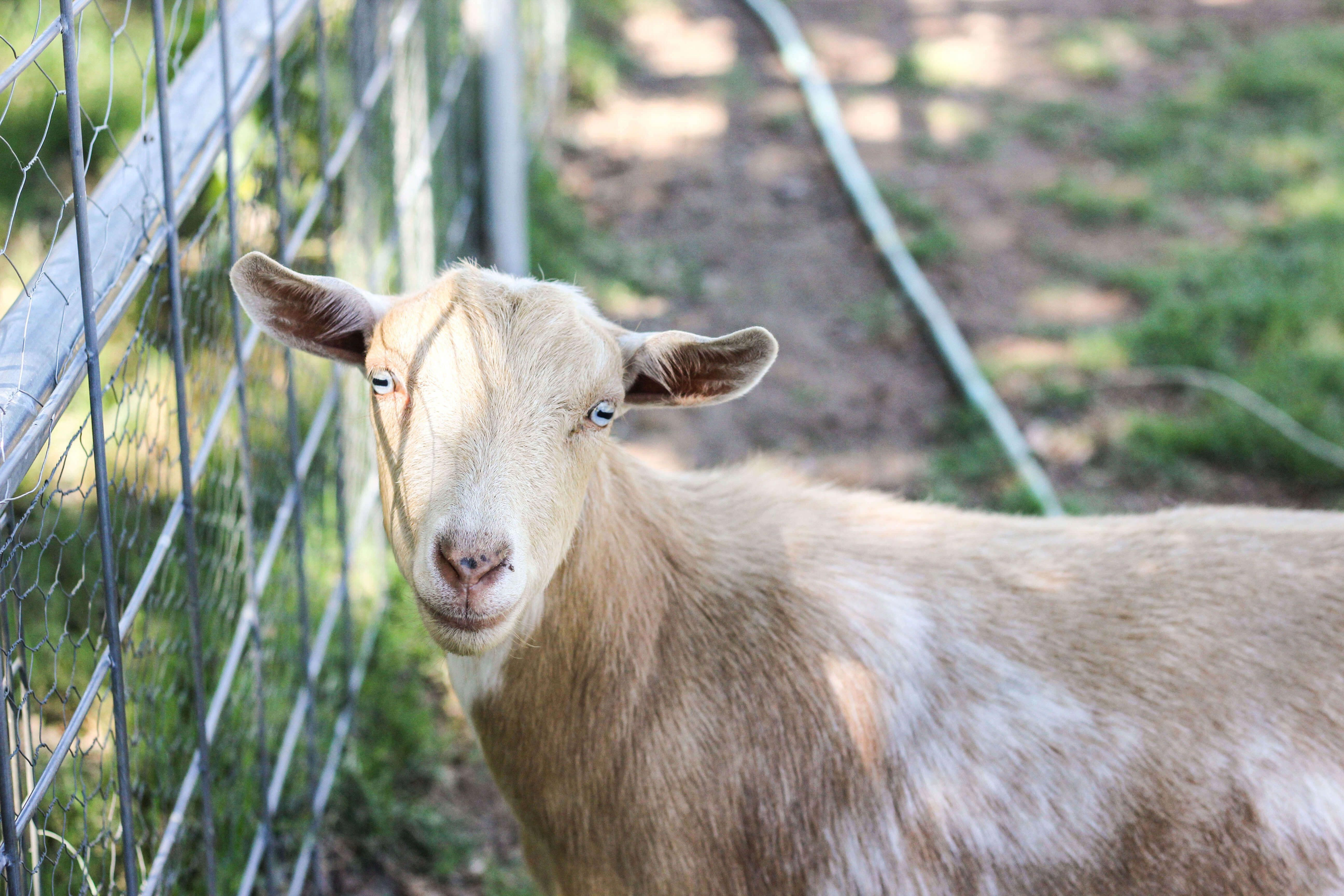 Kind goat raising beginners guide read review Goats