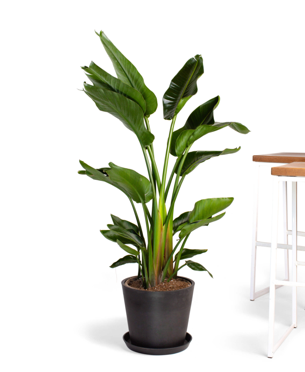 Buy Large Potted Bird Of Paradise Indoor Plant Bloomscape Birds Of Paradise Plant Best Indoor Trees Indoor Plants